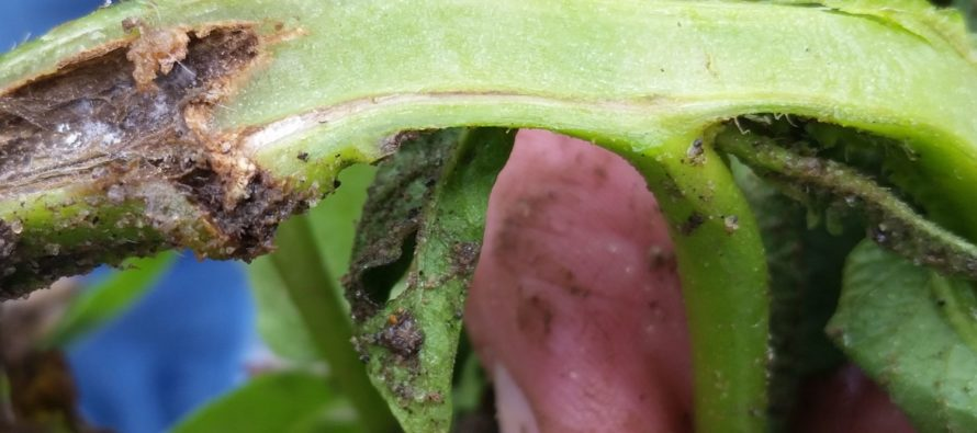 CSU to study the spread of pathogens in U.S. potato crops