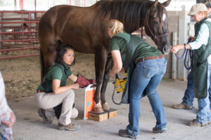 color photo of CSU Equine Clinical Services team at Cheyenne Frontier Days, treating Wapinitia