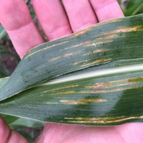 CSU researchers awarded emergency funds to study corn disease