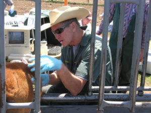 Frank Garry sampling a calf at a squeeze chute near Gunnison.