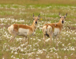 color photo of two pronghorn antelope in a field