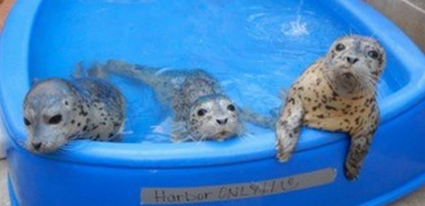 Three spotted seals in a a kiddie pool