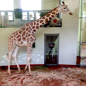 A tall order: Giraffe receives stem-cell therapy for chronic arthritis