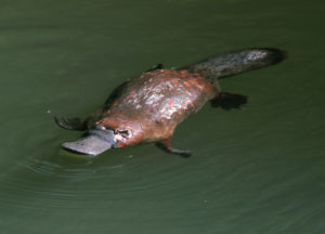 duck-bill platypus swimming