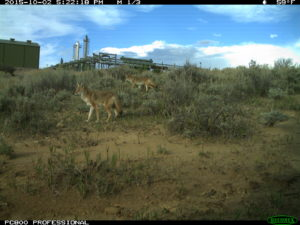 a color photo of foxes captured by a remote camera on Chevron property in northwestern Colorado