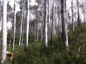 a color photo of Aspen trees in Colorado. At left, a student researcher inspects a tree
