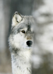 Grey wolf head shot