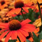 KISMET™ Intense Orange Coneflower from Terra Nova Nurseries