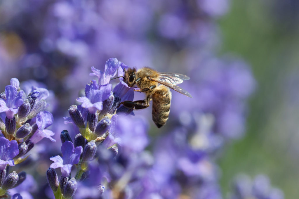 bee feeding on lavender