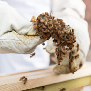 Student handling bees