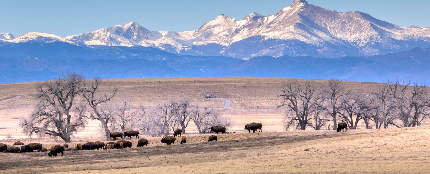 Buffalo with the Rocky Mountains in the background