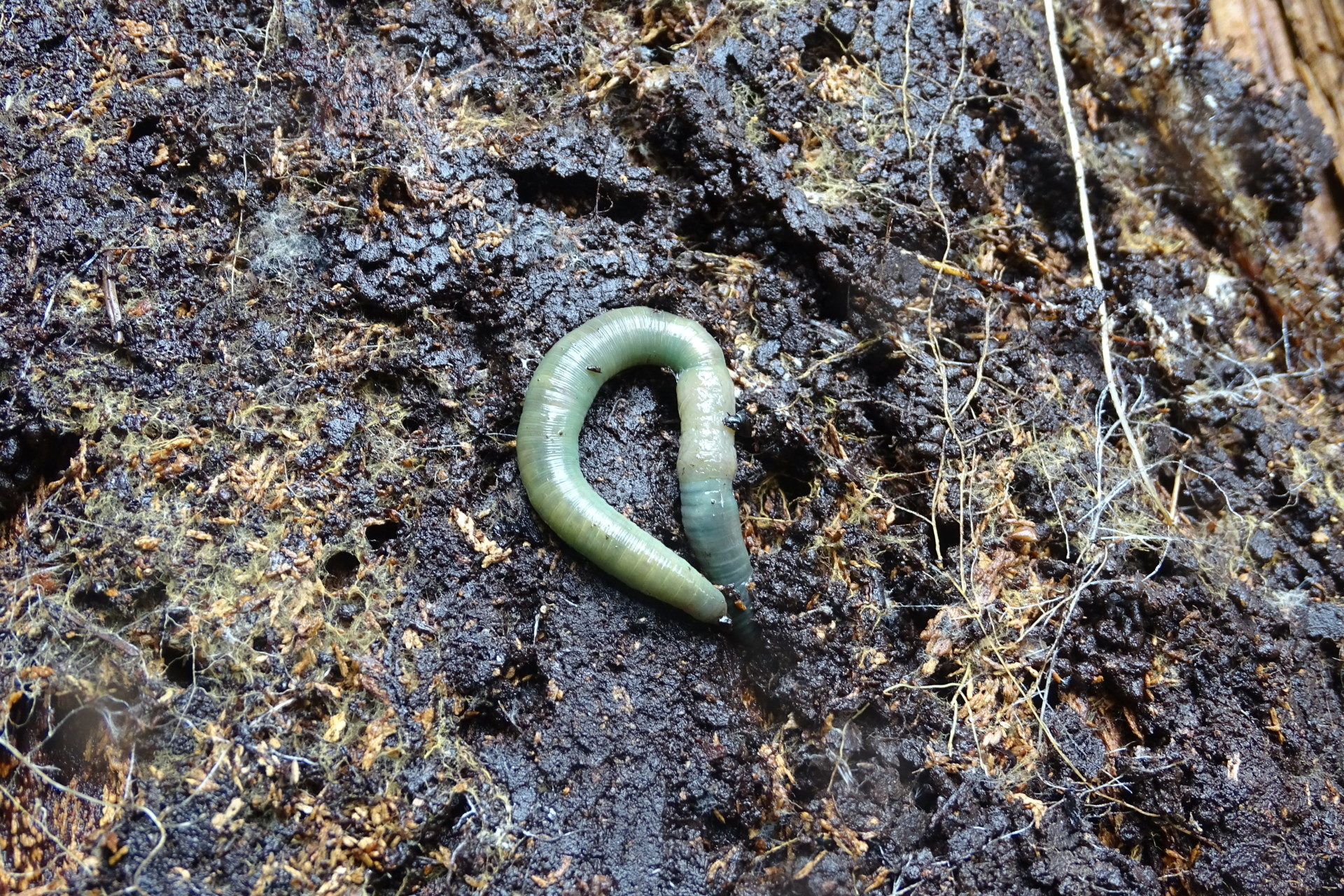 A green worm on top of wet soil