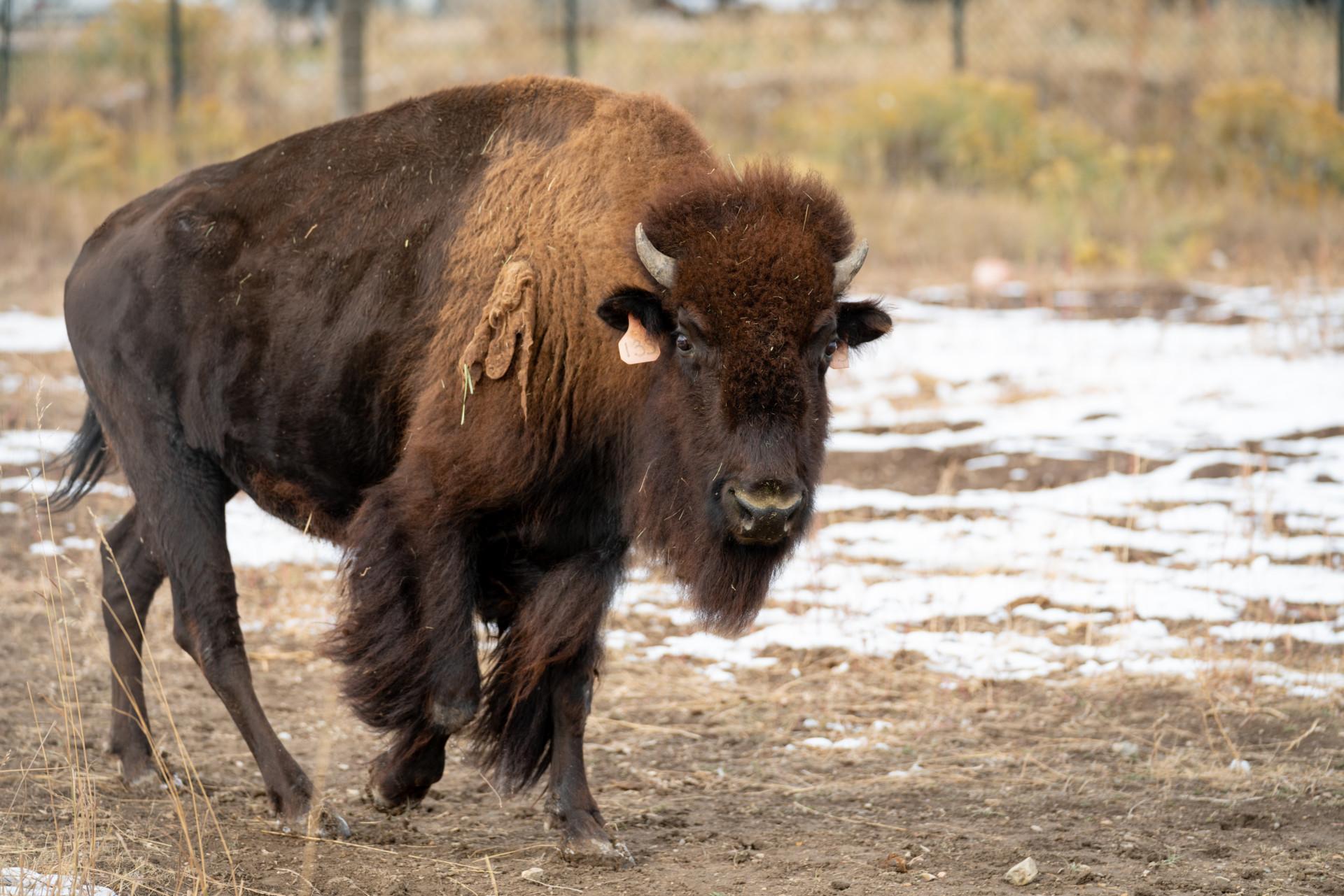 a bison on CSU's Foothills Campus