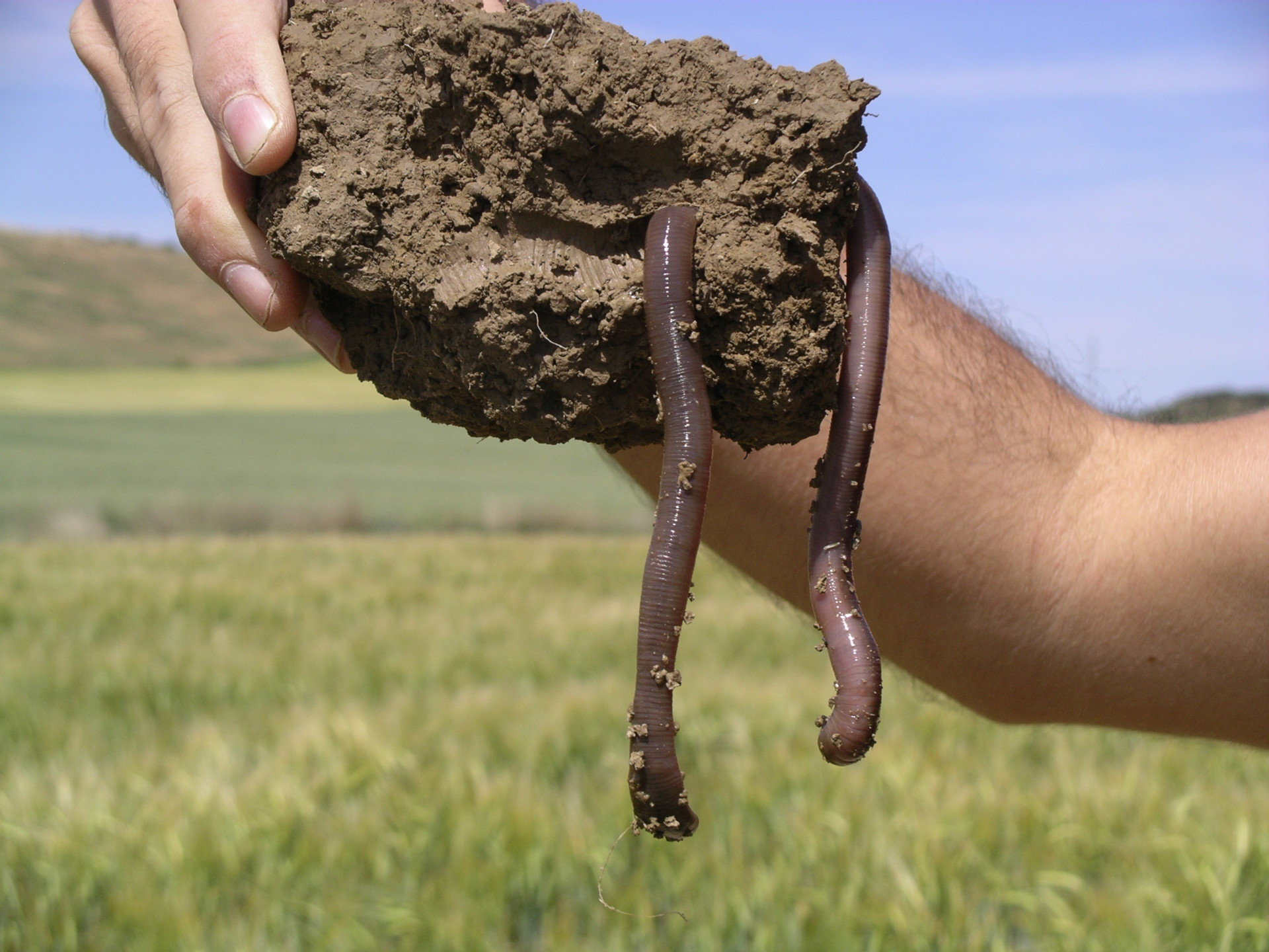 a large warm in a chunk of soil, being held by someone above the ground