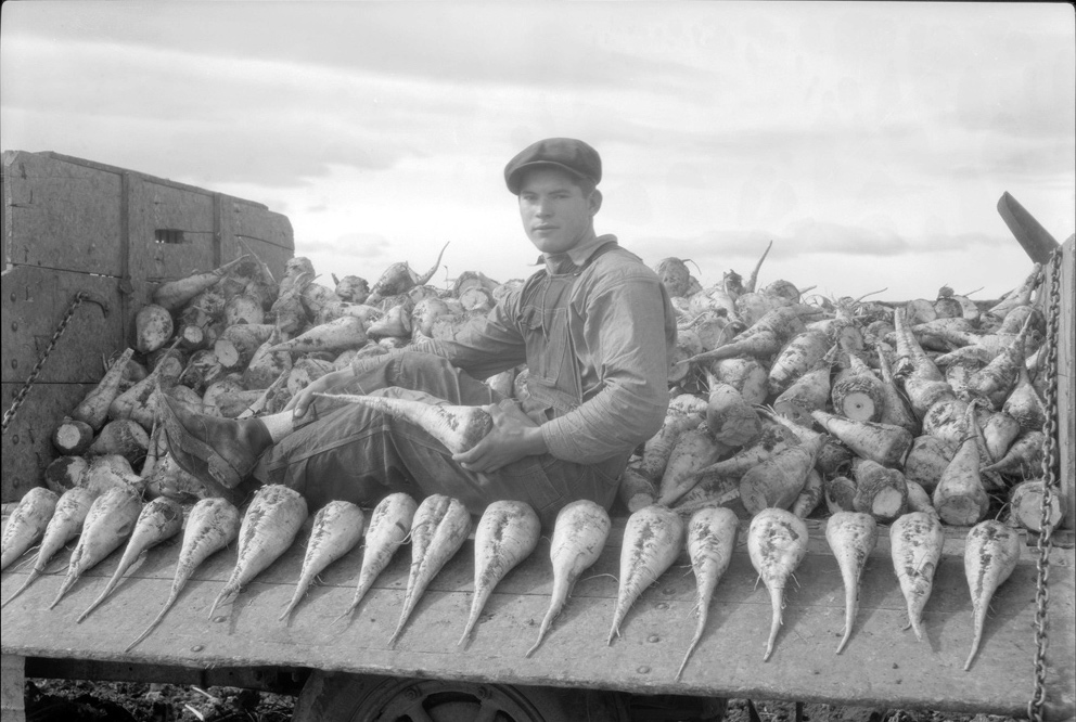 Boy in a truck full of sugar beets