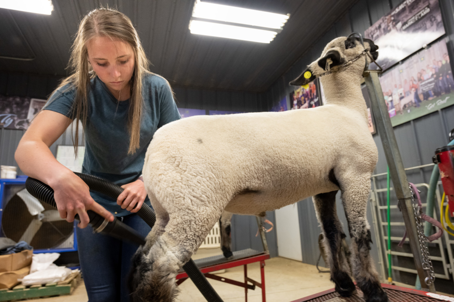 CSU Sophomore Lauren Frink works with her sheep to get them ready for the 4H competition at the county fair. May 27, 2020