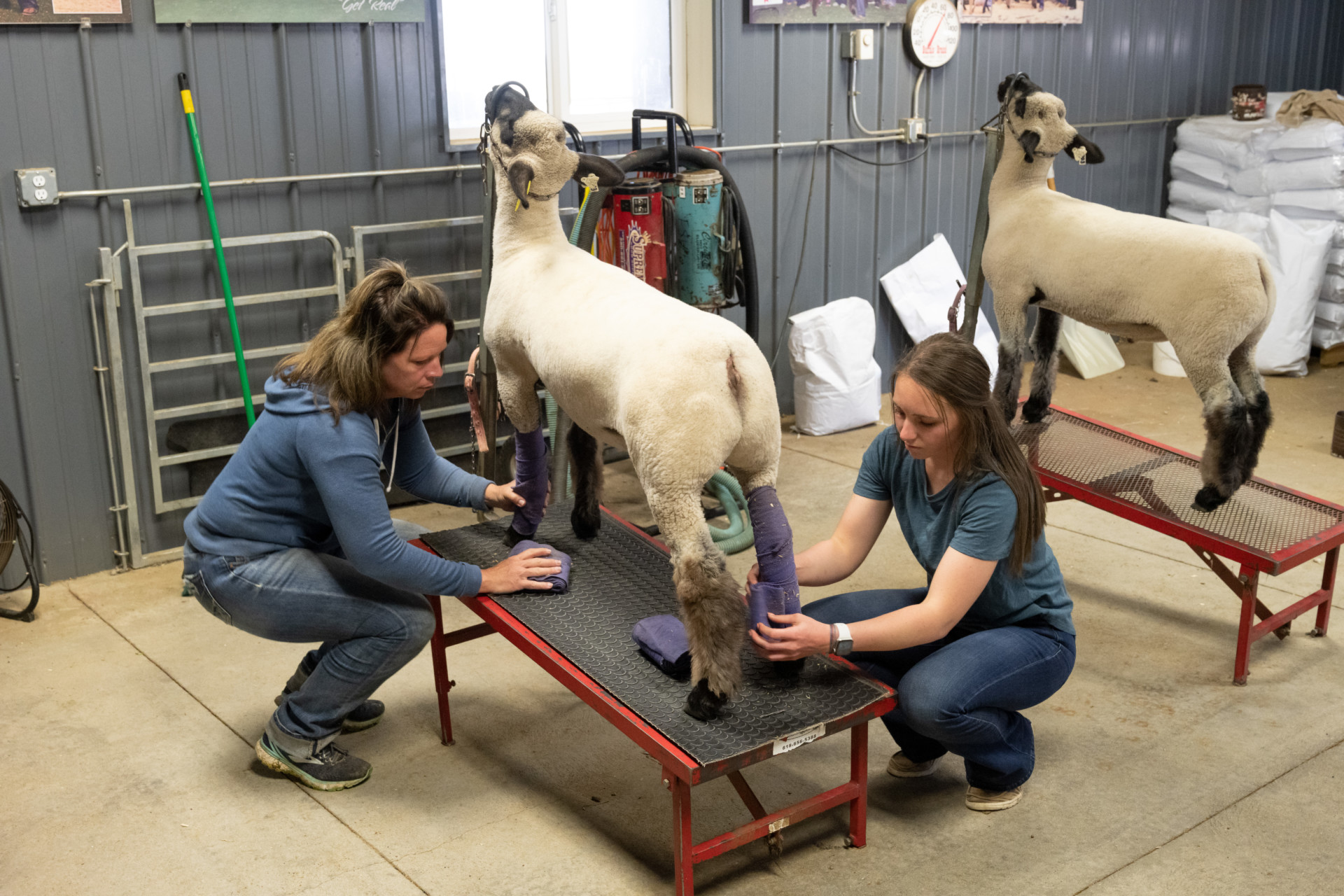 CSU Sophomore Lauren Frink and her mother Amy Frink work with Lauren's sheep to get them ready for the 4H competition at the county fair. May 27, 2020