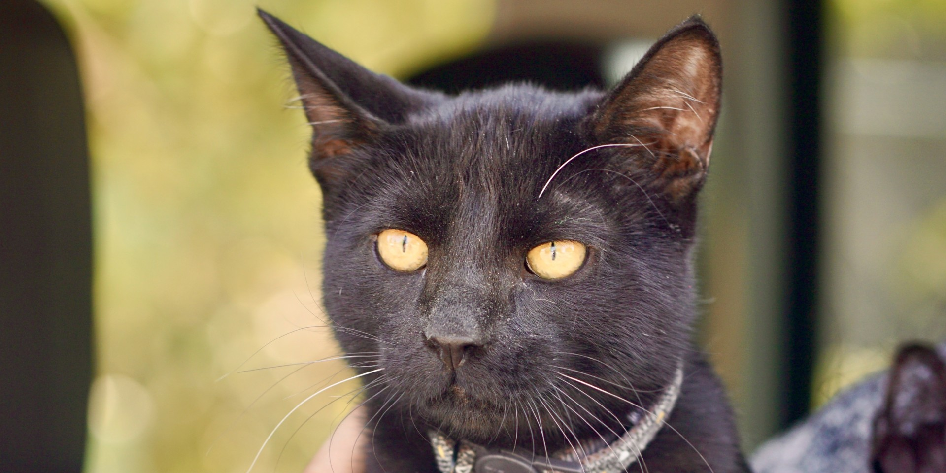Black cat looks out the window of owners' vehicle at seventh annual CSU Spur Focus on Health Community Clinic in Denver on Oct. 3, 2020.