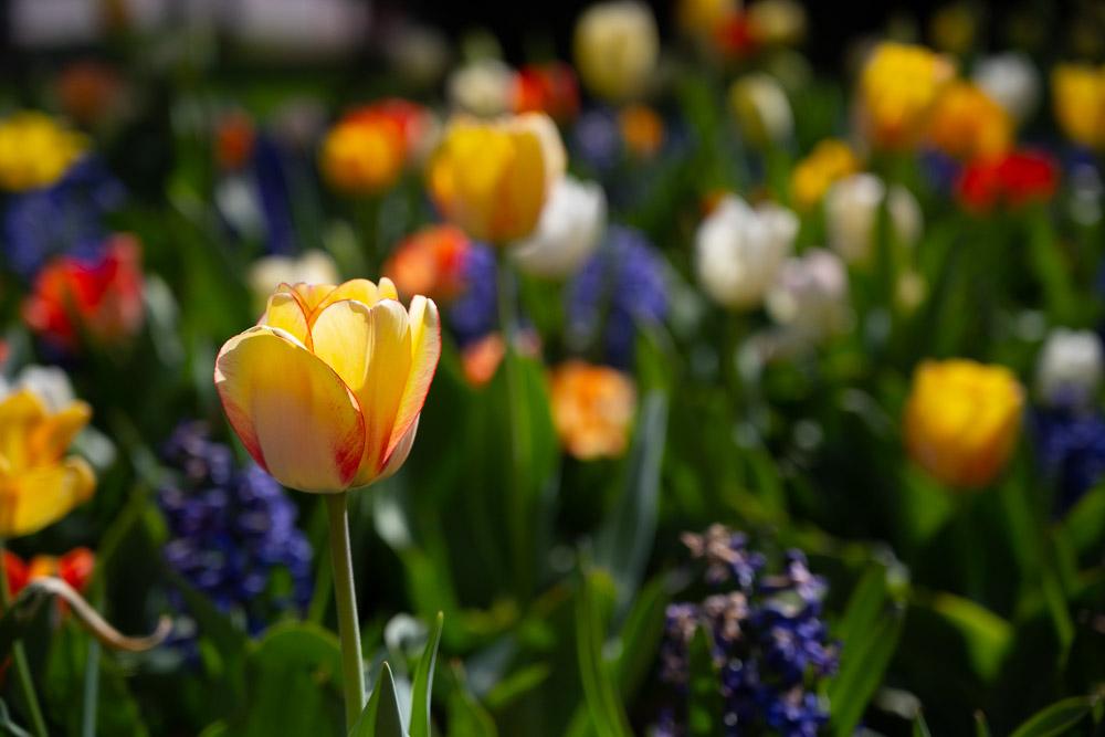 Flowers on CSU's campus