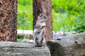 a golden-mantled ground squirrel at CSU's Mountain Campus