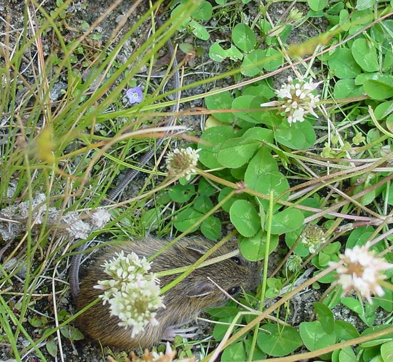 a preble's mouse among clover